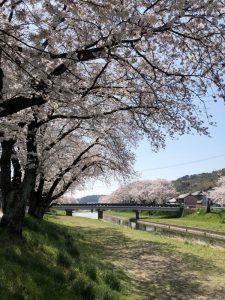桜咲いてます!