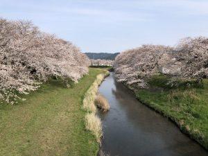 御油の桜並木