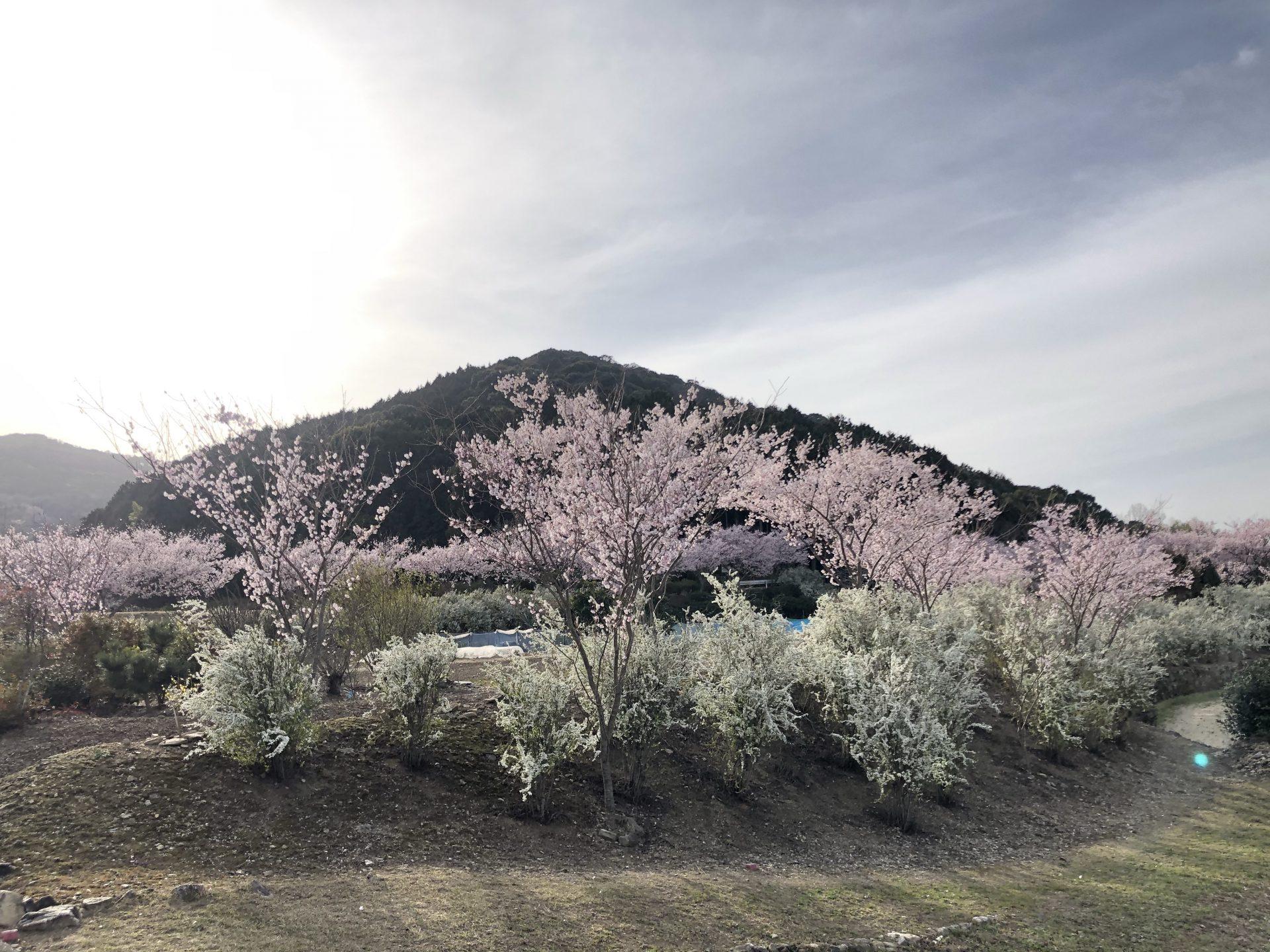 桜が綺麗ですよ〜